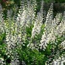 Guarantee 50 Seeds WHITE WILD(False)INDIGO Seeds Native Wildflower Perennial Nitrogen-Fixing