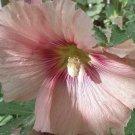 Guarantee 50 Seeds  4 SHADES OF PINK HOLLYHOCK Seeds MIX BLUSH LIGHT HOT DARK Cut Flowers Garden