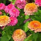"""Guarantee 301 Seeds ZINNIA""""CORAL BEAUTY""""Flower Seeds Giant 4-5""""Blooms Summer>Fall Butterflies"""
