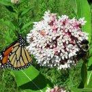 Guarantee 100 Seeds COMMON MILKWEED Seeds Monarch Butterflies American Native Wildflower Garden