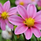 "Guarantee 300 Seeds DWARF DAHLIA PATIO MIX Seeds 16"" Tall Purple Red Rose Salmon White Yellow"