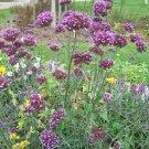 Guarantee 500 Seeds PURPLETOP VERVAIN Flower Seed Native Wildflower Butterfly Magnet Bees SALE
