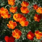 Guarantee 1000 Seeds MIKADO CALIFORNIA POPPY Flower Seeds Native Wildflower Butterflies Bee's