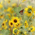 Guarantee 100 Seeds WILD(Common)SUNFLOWER Seeds American Native Wildflower Kansas State Flower