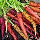 Guarantee 500 Seeds RAINBOW CARROTS Seeds 5 Colors All Natural Organic Non-Gmo Gourmet Kitchen