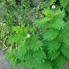 Guarantee 300 Seeds ILLINOIS BUNDLEFLOWER Seeds American Native Wildflower Perennial Legume
