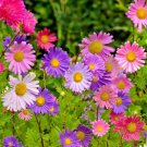 Guarantee 500 Seeds CHINA ASTER Mix Seeds Single Cut Flowers Butterflies Bees Garden
