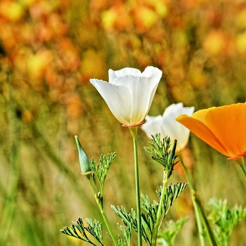 Guarantee 1000 Seeds WHITE LINEN CALIFORNIA POPPY Flower Seeds Native Wildflower Garden/Potted