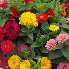 """Guarantee 100 Seeds GIANT CALIFORNIA ZINNIA MIX Seeds 4-5"""" Flowers 7 COLORS Butterflies Garden"""