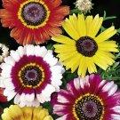 Guarantee 100 Seeds CHRYSANTHEMUM PAINTED DAISY MIX Seeds White Purple Red Yellow Patio/Garden