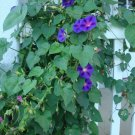 "Guarantee 50 Seeds ""GRANDPA OTT"" Morning Glory Flower Seeds Purple/Red Blooms Garden"