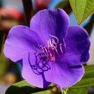 Guarantee Tibouchina urvilleana Glory Bush Lasiandra Princess Flower 500 Seeds