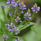 Guarantee Verbena hastata Blue Vervain 400 Seeds