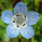 Guarantee Nemophila menziesii Baby Blue Eyes 50 Seeds
