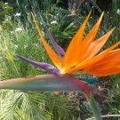 Guarantee Strelitzia reginae Dwarf 5 Seeds