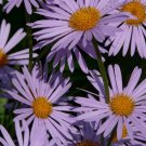 Guarantee Symphyotrichum novae-angliae New England Hardy Aster 100 Seeds