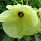 Guarantee Abelmoschus manihot Aibika Sunset Muskmallow Hibiscus 20 Seeds