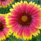 Guarantee Gaillardia aristata Bremen Indian Blanket Flower  50 Seeds