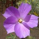 Guarantee Alyogyne huegelii Blue Hibiscus 20 seeds