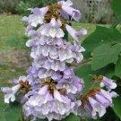 Guarantee Paulownia fortunei Dragon Tree Fortunes Empress Sapphire 100 Seeds