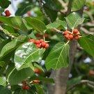 Guarantee Ficus benghalensis Indian Banyan Fig 100 Seeds