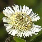 Guarantee Eclipta prostrata False Daisy Yerba de Tago Bhringraj 50 Seeds