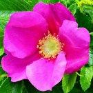 Guarantee Rosa rugosa Rubra Red Japanese Rose 5 Seeds