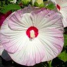 Guarantee Hibiscus moscheutos Luna Blush Rose Mallow 50 Seeds