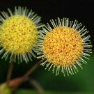 Guarantee Haldina cordifolia Kadam Kadamba 100 Seeds