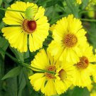 Guarantee Helenium autumnale Helens Flower Common Sneezeweed| 20 Seeds