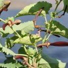 Guarantee Aristolochia bracteolata 50 Seeds