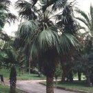 Guarantee Brahea dulcis Apak Blue Rock Desert Sombrero Palm 10 Seeds