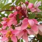 Guarantee Cassia javanica subsp. nodosa Apple Blossom Cassia 10 Seeds