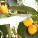 Guarantee Ficus religiosa Sacred Fig Bodhi Tree Pippala Peepul Peepal 50 Seeds