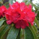 Guarantee Rhododendron arboreum Burans Gurans 1000 Seeds
