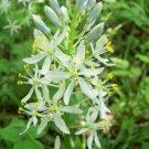 Guarantee Camassia scilloides Atlantic Camas Wild Hyacinth 50 Seeds