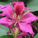 Guarantee Bauhinia purpurea Butterfly Orchid Tree Camels Foot 10 Seeds