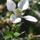 Guarantee Fendlera rupicola Cliff fendlerbush 10 Seeds