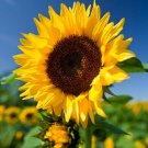 Guarantee Helianthus annuus Common Sunflower 50 Seeds