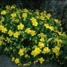 Guarantee Hypericum cerastoides Trailing St. Johns Wort 20 seeds