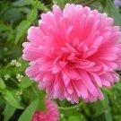 Guarantee Callistephus chinensis  Dwarf Milady  China Aster  20-Seeds
