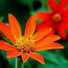 Guarantee sunflower MEXICAN SUNFLOWER Torch red fower 40 seeds