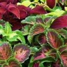 Guarantee cole COLORFUL SHADE FOLIAGE flower 435 seeds *