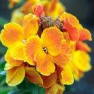 Guarantee wall ENGLISH WALLFLOWER Perennial yellow orange flower 130 seeds *