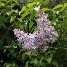 Guarantee lilac OLD FASHIONED LILAC tree bh common Syringa vulgaris 45 seeds