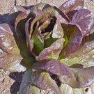 Guarantee lettuce RED CIMMARON salad greens ROMAINE 500 seeds