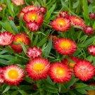 Guarantee strawflower TALL DOUBLE MIX 400 SEEDS