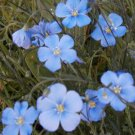 Guarantee flax blue SUN PERENNIAL flower 75 seeds
