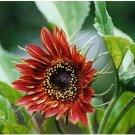 Guarantee sunflower VELVET QUEEN RED sun flower BLOOMS 50 seeds  buy
