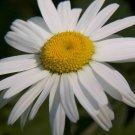 Guarantee daisy OXEYE oxeye daisies white flower perennial 190 seeds *
